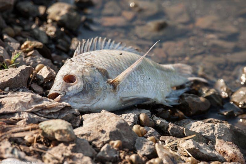 Död fisk royaltyfria foton