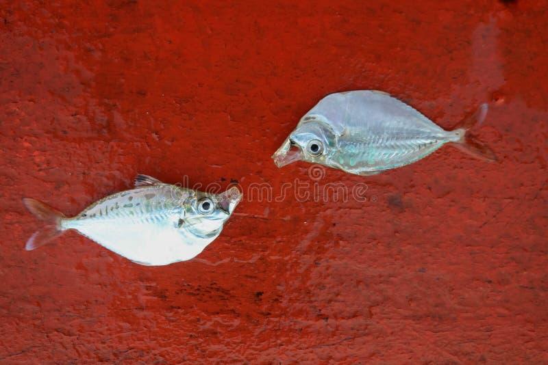 Död fisk på aktern av segelbåten i havet royaltyfria foton