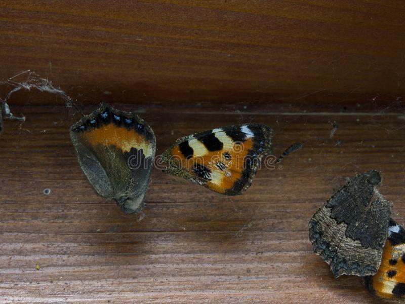 Död fjäril som fångas i spindelrengöringsduken arkivbilder