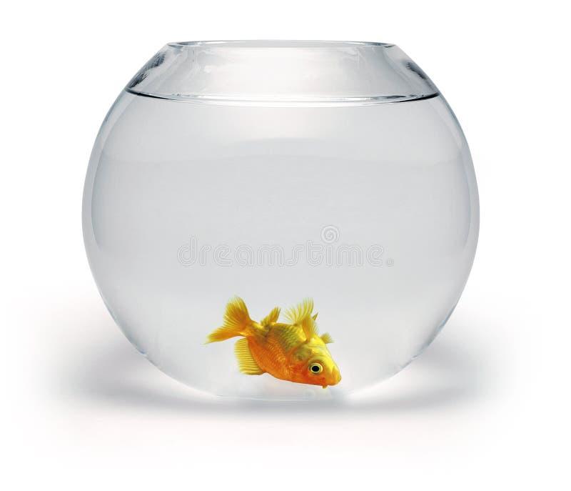 död guldfisk royaltyfria foton