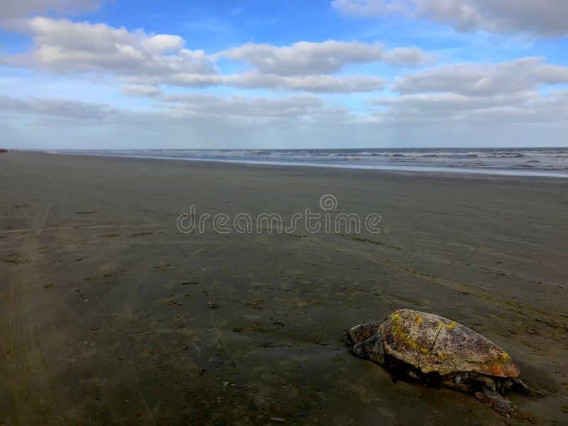 Död havssköldpadda royaltyfria foton