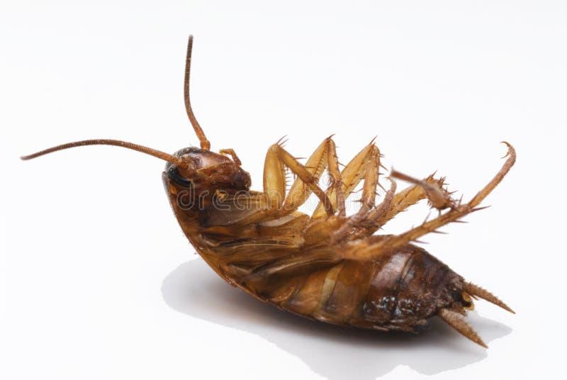 död kackerlacka royaltyfria bilder