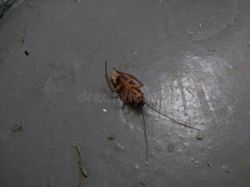 Död kackerlacka, plågakontroll, utrotning arkivfoto