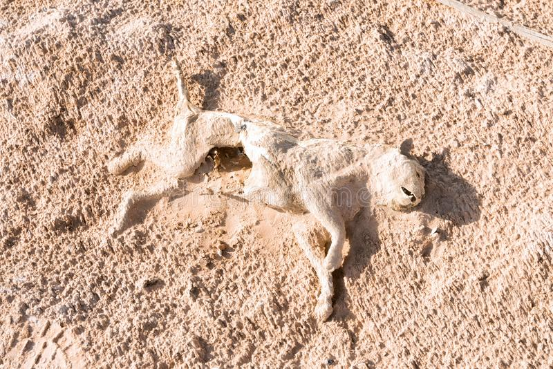 Död katt i tomma fjärdedelar i Oman royaltyfri fotografi