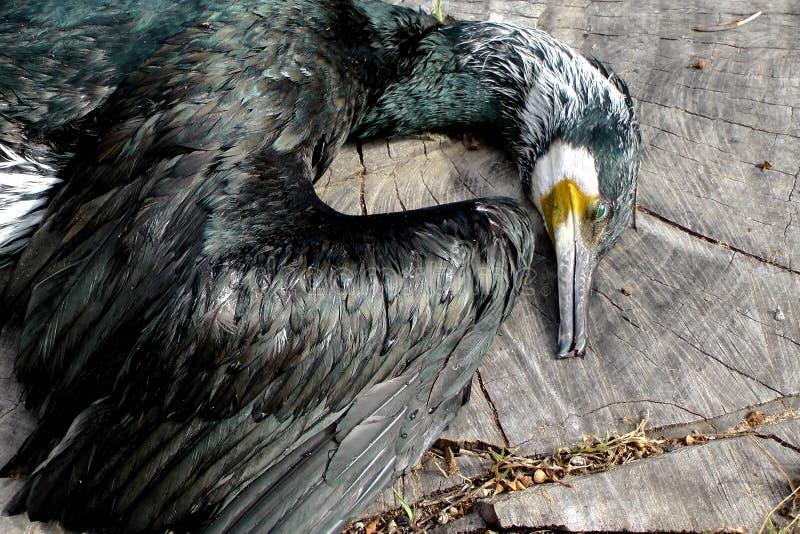 Död kormoran på en journal royaltyfri bild