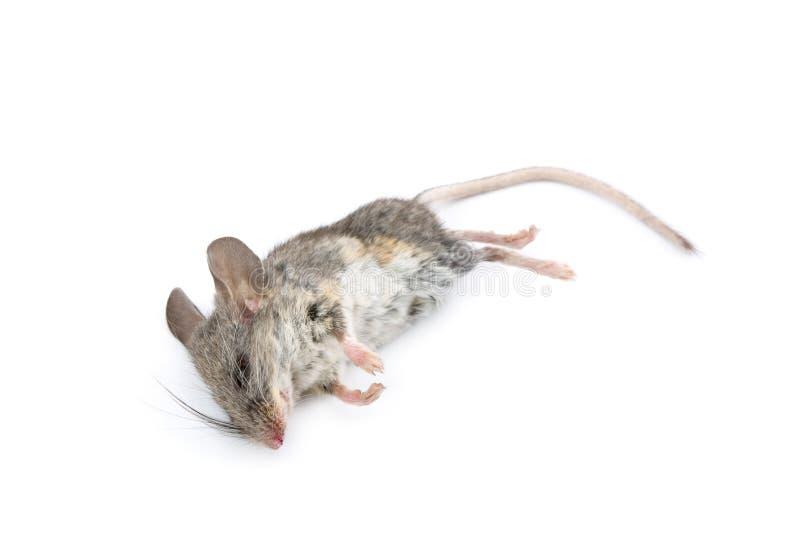 död mus fotografering för bildbyråer