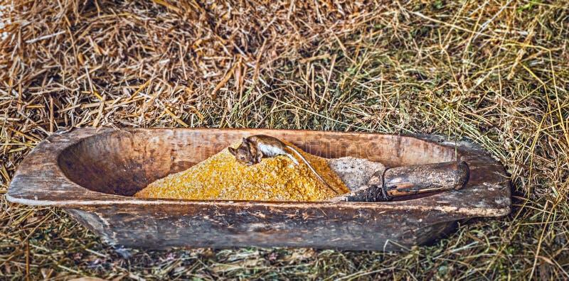 Död mus på havremjöl royaltyfri fotografi