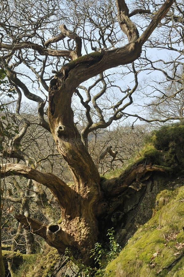 död oaktree royaltyfri fotografi