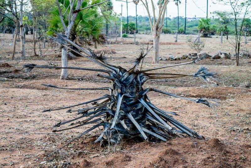 död palmträd royaltyfri foto