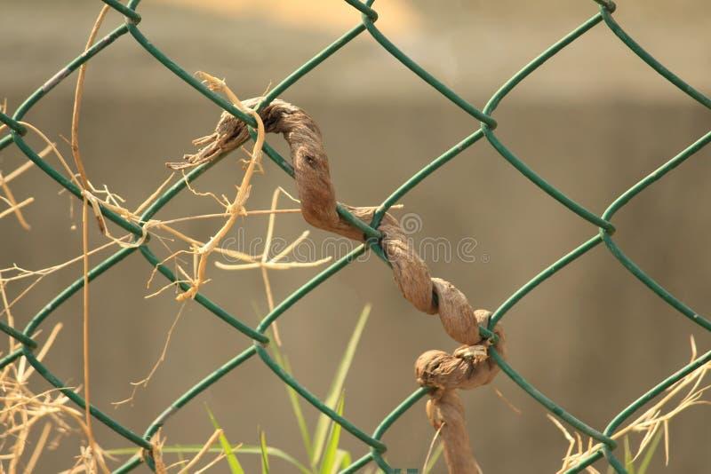 Död ranka som vävas i staketet arkivbilder