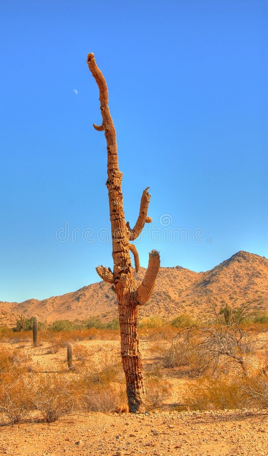 död saguaro royaltyfri foto