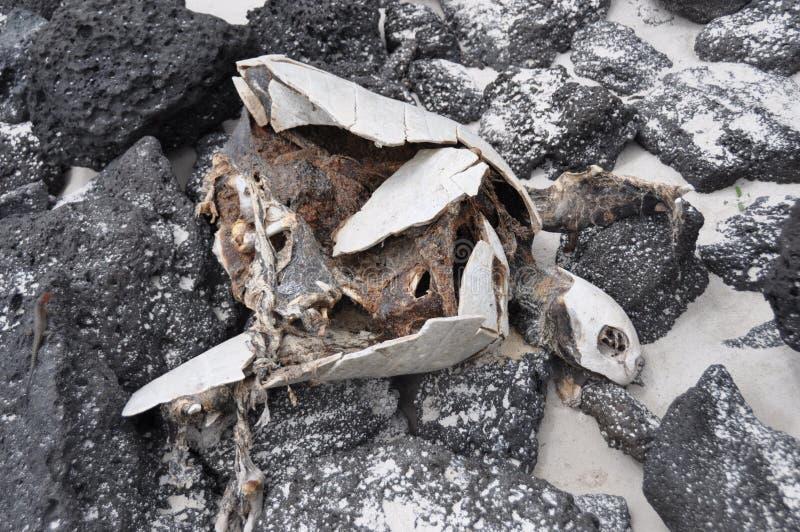 död sköldpadda royaltyfri fotografi