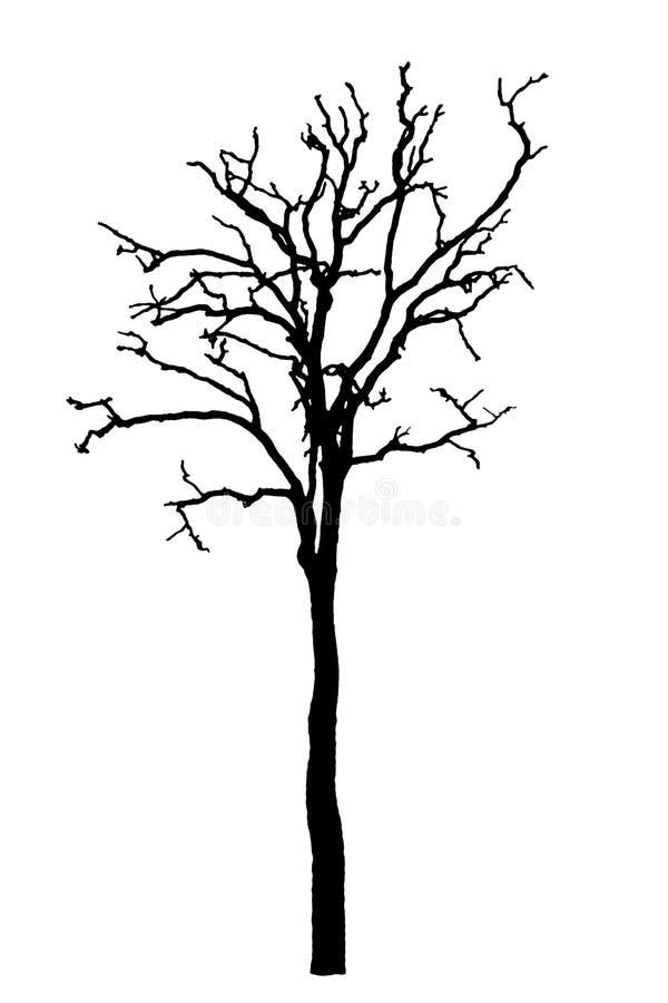 Död trädkontur torr ekkrona utan blad som isoleras på vit royaltyfria foton
