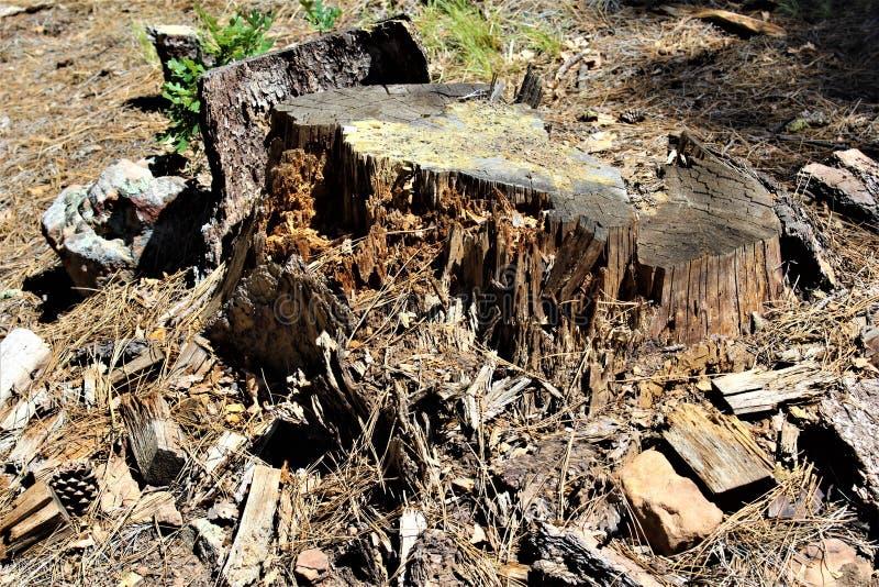 Död trädstubbe på träkanjon sjön, Coconino County, Arizona, Förenta staterna royaltyfri bild
