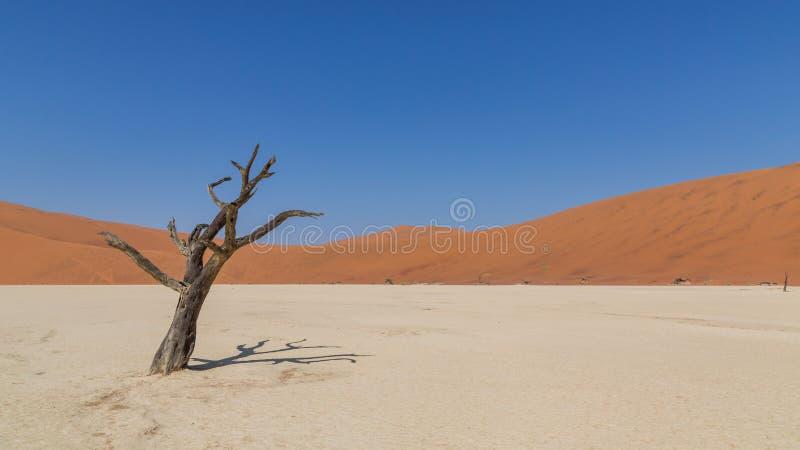 Döda akaciaträd i DeadVlei, Sossusvlei, Namibia royaltyfria bilder