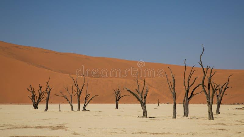 Döda akaciaträd i DeadVlei, Sossusvlei, Namibia arkivfoton