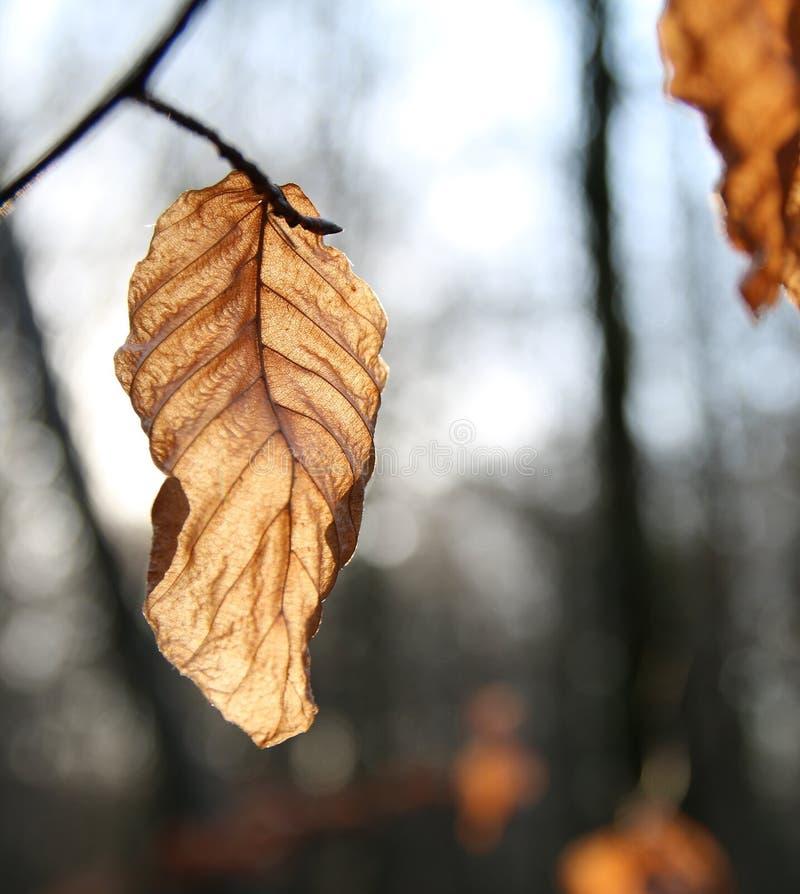 Döda bruna Autumn Leaf med grund bakgrund fotografering för bildbyråer