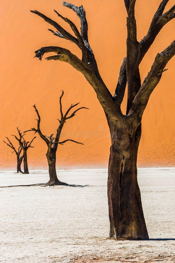 Döda Camelthorn träd i Deadvlei, Sossusvlei royaltyfri bild
