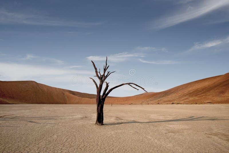 Döda Camelthorn träd mot röda dyn och blå himmel i Deadvlei, Sossusvlei Namib-Naukluft nationalpark, Namibia, Afrika arkivbild