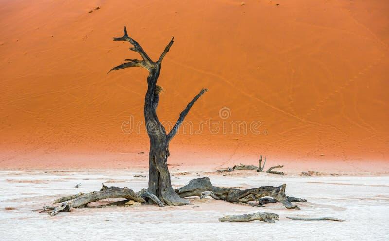 Döda Camelthorn träd och röda dyn, Deadvlei, Sossusvlei, Namibia stock illustrationer
