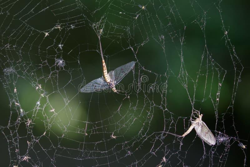 Döda dagsländor (Ephemeravulgata) i spindelrengöringsduk arkivfoto