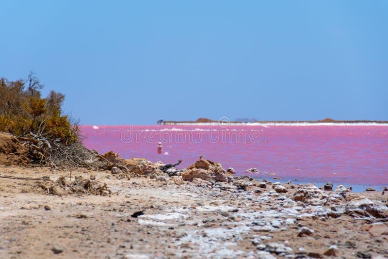 Döda filialer och att salta kristaller på stranden av den rosa sjön bredvid Gregory i västra Australien arkivfoton