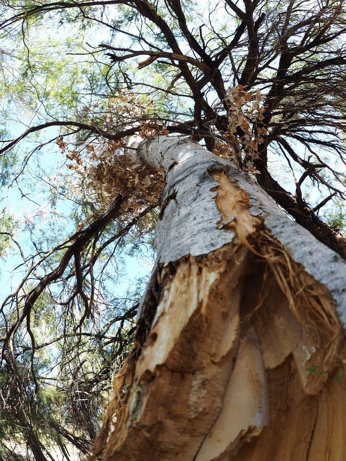 Döda hängningar för en poppelstam från markisen av ett bosatt träd royaltyfria bilder
