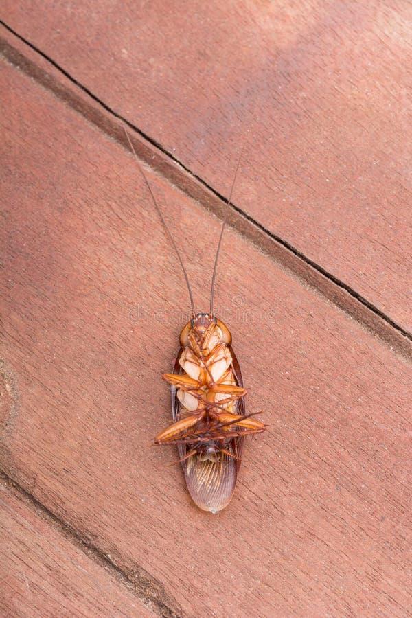Döda kackerlackor royaltyfria foton