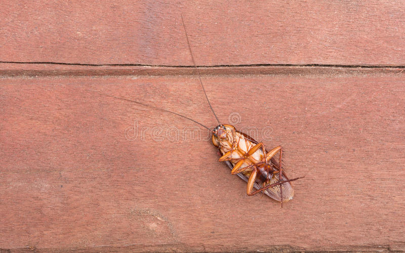 Döda kackerlackor arkivbilder