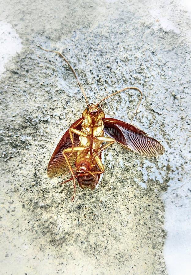 Döda kackerlackor på cementgolvet royaltyfria bilder