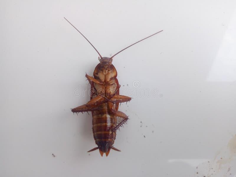 Döda kackerlackor på en vit bakgrund kackerlackabild fotografering för bildbyråer