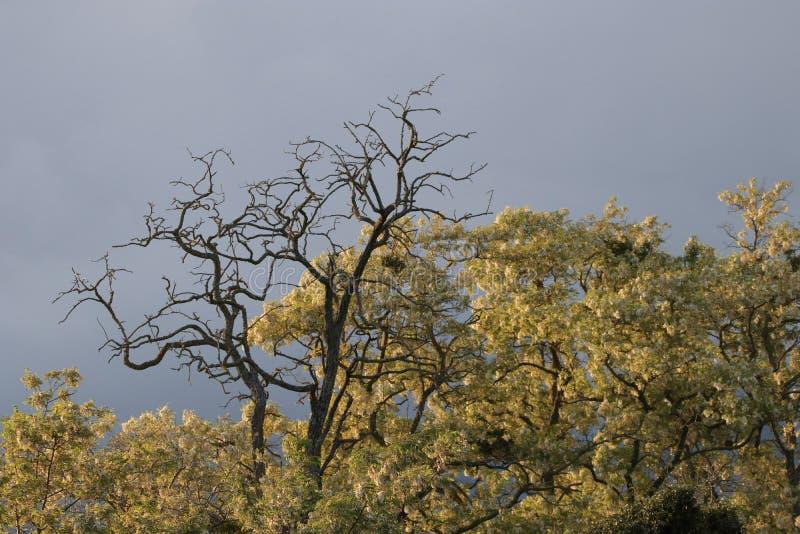 Döda och bosatt träd royaltyfria foton