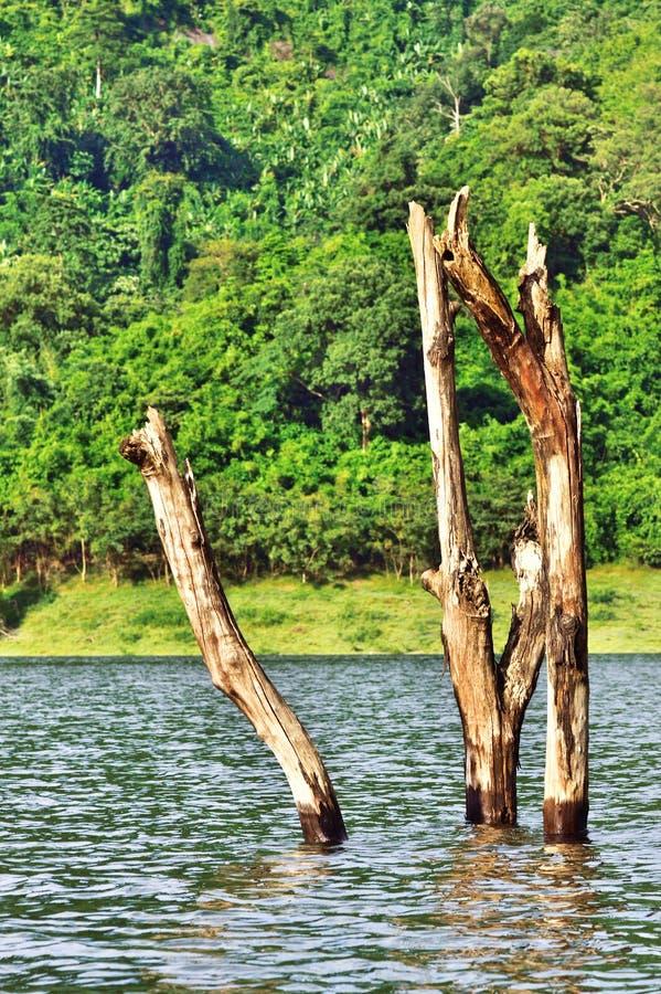 Döda träd är döda i mitt av en djungelflod royaltyfri foto