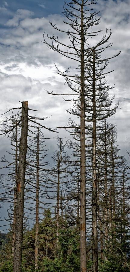 Döda träd i de Harz bergen arkivbild