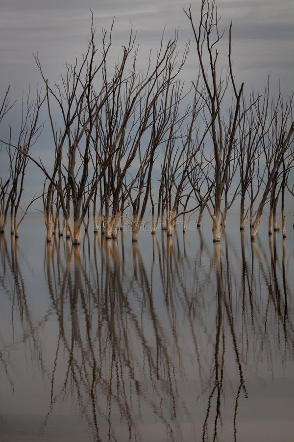 Döda träd i staden av Epecuen Ensamt landskap utan folk arkivbilder