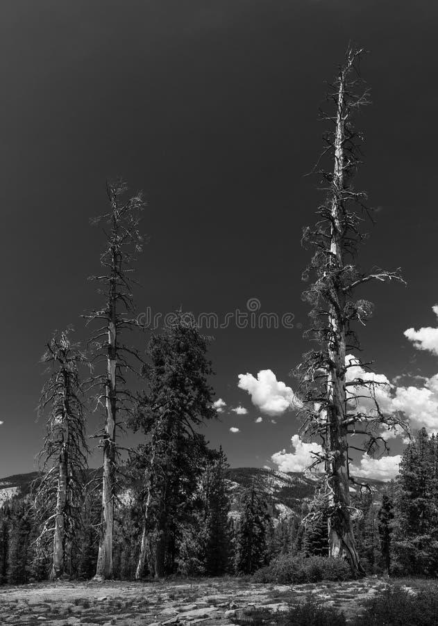 Döda träd och vitmoln B+W arkivbilder