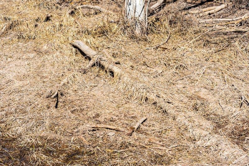 Döda träd som täckas av torrt brunt gräs arkivfoton