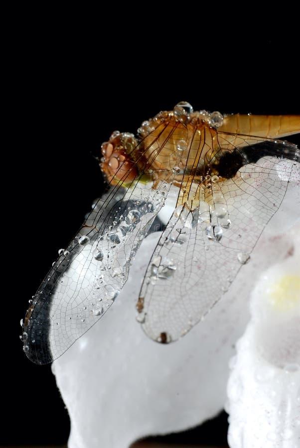 Döddrakefluga royaltyfri fotografi