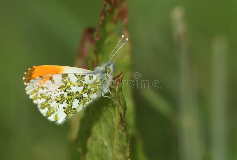 Dök upp nyligen den manliga Apelsin-spetsen fjärilen, Anthocharis cardamines som sätta sig på ett blad royaltyfri foto