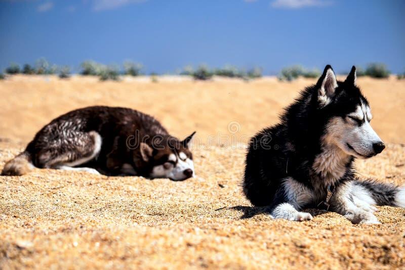 Dösen nasser sibirischer Husky zwei stockbilder