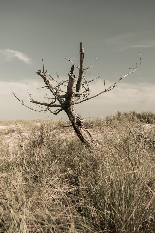Dött avlövat träd, i ett fält av torrt gräs på en bränning varm dag, brandö, NY royaltyfria bilder