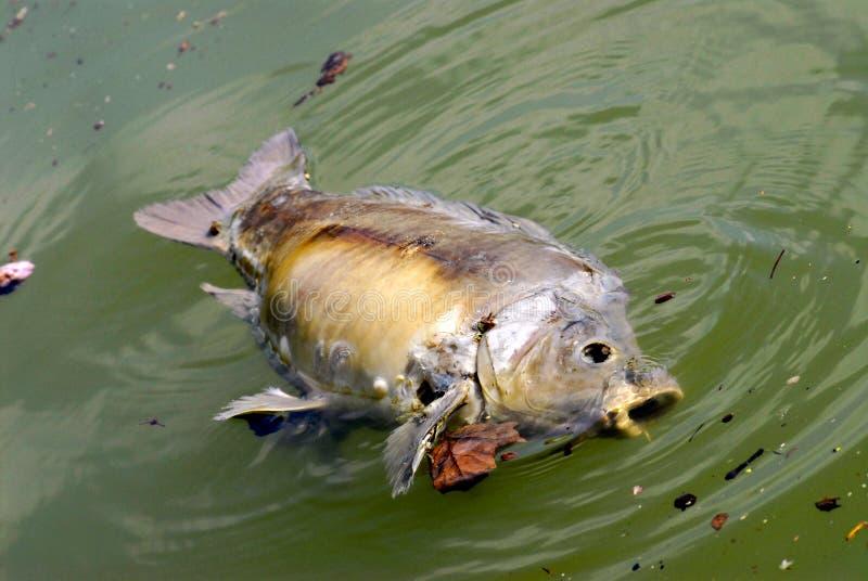 dött fiskvatten arkivfoto