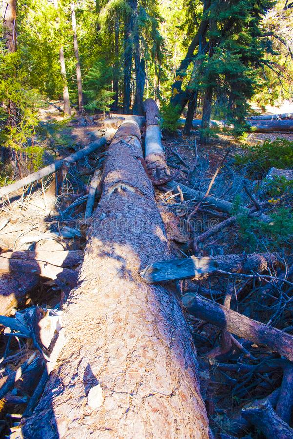 Dött gigantiskt sörjer träd i sequoianationalpark royaltyfria foton
