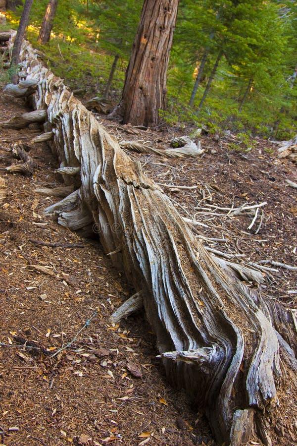 Dött gigantiskt sörjer träd i sequoianationalpark royaltyfri bild
