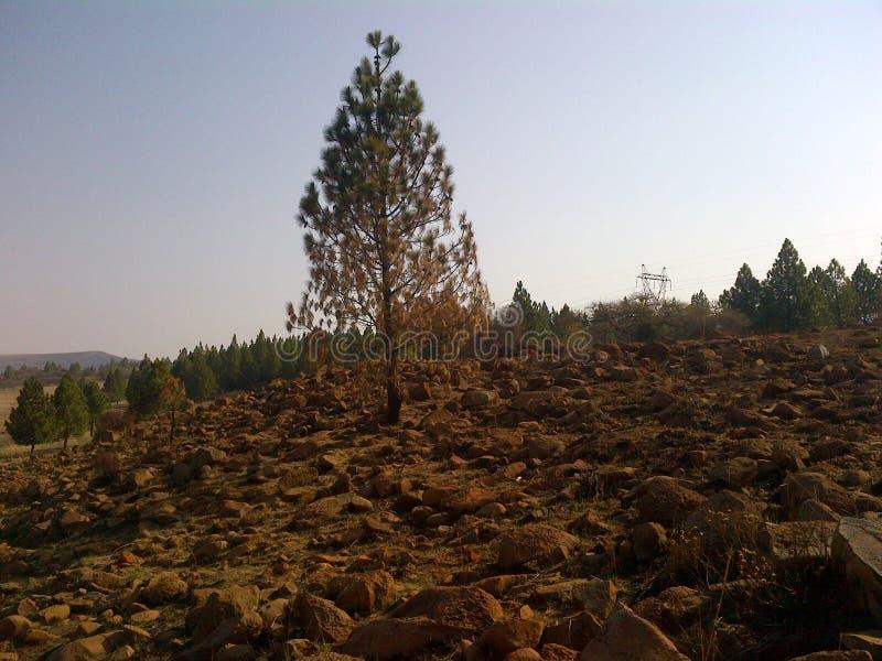 Dött halvt vid liv för träd vaggar till hälften med royaltyfri bild