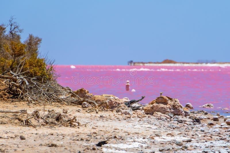 Dött trä och att salta kristaller på stranden av den rosa sjön bredvid Gregory i västra Australien royaltyfri bild