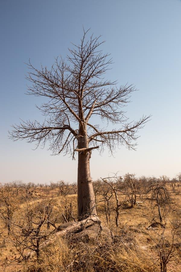 Dött träd i ökenlandskap av den Mapungubwe nationalparken, Sydafrika royaltyfria bilder