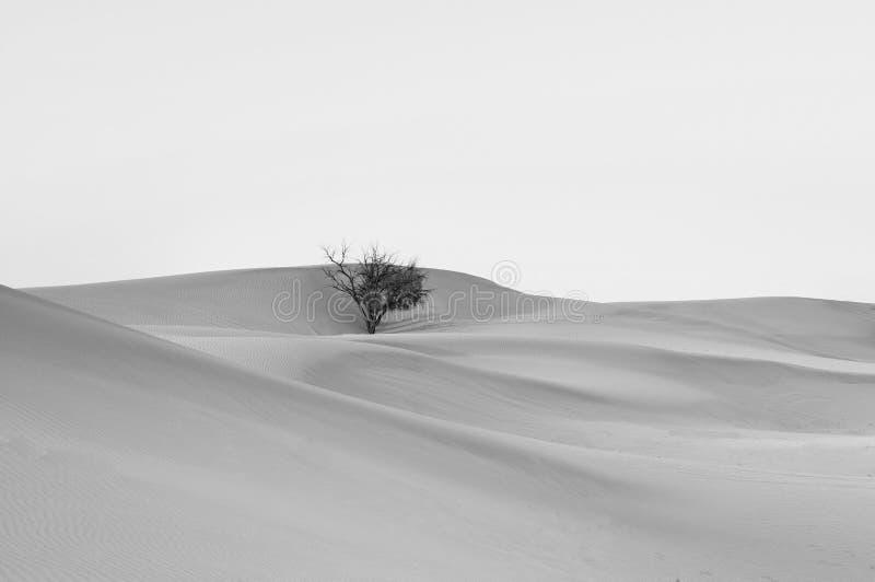 Dött träd i den ökenAl Wathba öknen med den härliga sanddyn, UAE arkivbilder