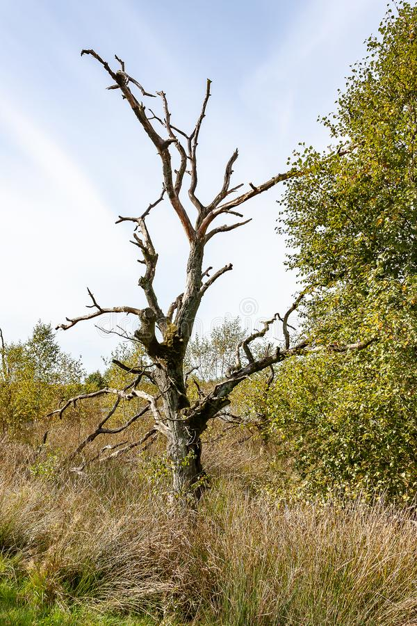 Dött träd i det Drents landskapet, Nederländerna fotografering för bildbyråer