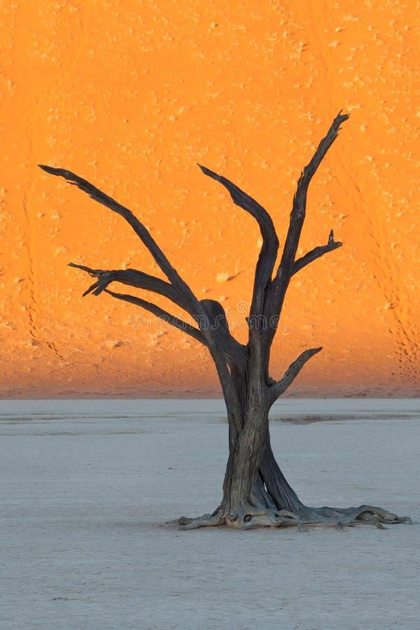 Dött träd i Namibia royaltyfria bilder